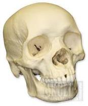 """""""Negroid"""" skull"""